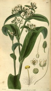 The image shows fleshy stems and leaves with small greenish-white flowers. Curtis's Botanical Magazine t.2935, 1829.