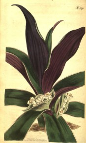 Illustrated are the purple-backed leaves and small white flowers.  Curtis's Botanical Magazine t.1192, 1809.