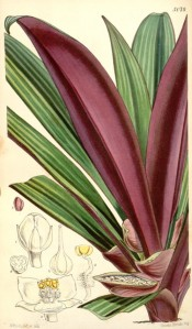 Illustrated are the purple-backed leaves, variegated with paler stripes on the top.  Curtis's Botanical Magazine t.5079,1858.