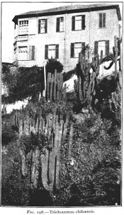 The photograph shows large cacti with cylindrical, branched stems.  The Cactaceae vol.II, Fig 198, 1820.