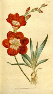 Figured is the whole plant, bulb, fan of leaves and orange flowers with a paler centre. Curtis's Botanical Magazine t.184, 1792.