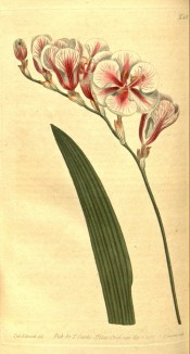 Figured are  alinear leaf and white, pink-flushed widely funnel-shaped flowers.  Curtis's Botanical Magazine t.581, 1802.