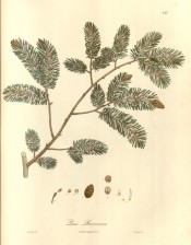 Figured is a conifer with green, silvery leaves and ovoid cones.  Wallich pl.247, 1832.