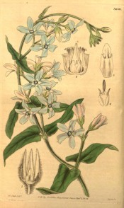 Figured is a climber with downy leaves and sky-blue starry flowers.  Curtis's Botanical Magazine t.3630, 1838.