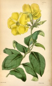 Illustrated are ovate leaves and bright yellow salviform flowers.  Curtis's Botanical Magazine t.4702, 1853.