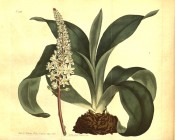 Figured are the bulb with basal leaves and dense raceme of white starry flowers.  Curtis's Botanical Magazine t.918, 1806.