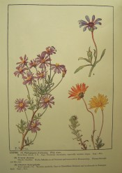 Figured are three African daisies, the flowers orange, mauve of blue.  Rice pl.LXXVIII.