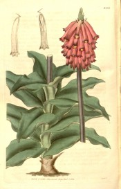 Figured is the stout stem, leaves and terminal raceme of pendant, tubular pink flowers. Curtis's Botanical Magazine t.3456, 1835