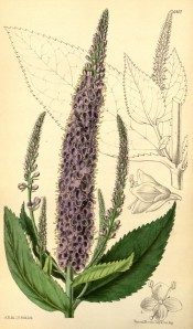 Figured are ovate-lanceolate toothed leaves and spike of amethyst blue flowers.  Curtis's Botanical Magazine t.6407, 1879.