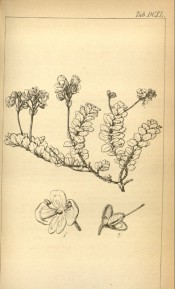 The line drawing shows a dwarf plant with small leaves and upright flower spikes.  Hooker's Icones Plantarum v.7 t.640, 1844.