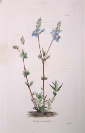 Figured is a spindly plant with terminal spikes of blue flowers. Loddiges Botanical Cabinet no.419, 1820.