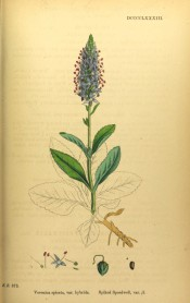 Figured are lance-shaped, toothed leaves and pyramidal raceme of purple-blue flowers.  English Botany pl.DCCCCLXXXIII/1866.