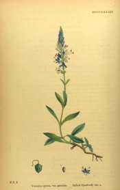 Figured are lance-shaped, toothed leaves and pyramidal raceme of purple-blue flowers.  English Botany pl.DCCCCLXXXII/1863-1886.
