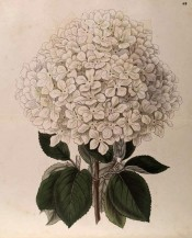 Shown are toothed leaves and dense, terminal cymes of salverform white flowers.  Botanical Register f.43, 1847.