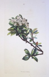 Illustrated are glossy, ovate leaves, nearly entire, and cymes of white flowers.  Loddiges Botanical Cabinet no.1476, 1830.