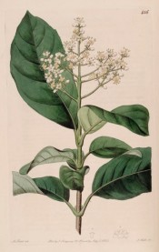 Illustrated are oval, leathery leaves, and large, conicle panicle of white flowers.  Botanical Register f.456, 1820.