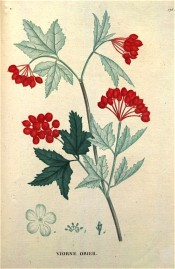 Figured are maple-like leaves and terminal bunches of bright red berries.  Saint-Hilaire Tr. pl.175, 1825.