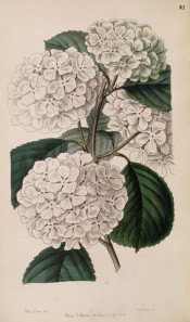 Shown are toothed leaves and dense, spherical, terminal cymes of saucer-shaped white flowers.  Botanical Register f.51, 1847.