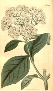 Figured are the oval leaves and flattened corymbs of white flowers.  Curtis's Botanical Magazine t.2082, 1819.