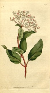Shown are oblong leaves and flattened terminal cymes of small, salverform white flowers. Curtis's Botanical Magazine t.38, 1788.