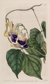 Figured are 3-palmate leaves and axillary raceme of coiled, snail-like, pink and purple flowers. Botanical Register f.341, 1819.
