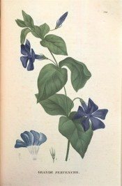 Illustrated are the glossy, lance-shaped leaves and five-petalled, salverform violet flowers.  Saint-Hilaire Tr. pl.124, 1825.