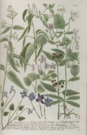 This very old illustration shows a number of wild flowers, mainly different species and forms of violet.