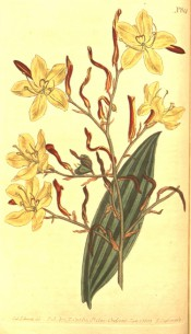 Figured are lance-shaped leaf and lax panicle of pale yellow flowers.  Curtis's Botanical Magazine t.614, 1803.