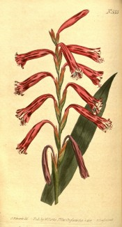 Figured is a sword-shaped leaf and spike of tubular red flowers.  Curtis's Botanical Magazine t.533, 1801.