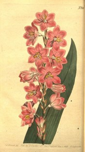Figured is a sword-shaped leaf and spike of crowded tubular pink flowers.  Curtis's Botanical Magazine t.608, 1802.