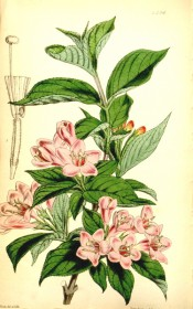 Shown are oval leaves, and corymbs of funnel-shaped, dark pink flowers, paler inside.  Curtis's Botanical Magazine t.4396, 1848.