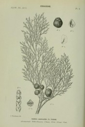 Illustrated are leaves and fruits + details of seeds.  The Flowering Plants of Africa. Thonner. pl.2, 1915.