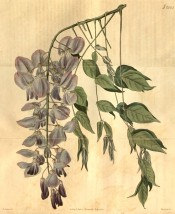 Figured are pinnate leaves and pendant raceme of lilac and purple flowers.  Curtis's Botanical Magazine t.2083, 1819.