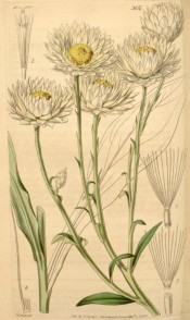 Figured are linear leaves, and white, yellow-centred daisy-like everlasting flowers.  Curtis's Botanical Magazine t.3857, 1841.