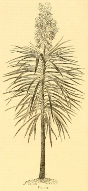 The uncoloured woodcut shows an upright stem topped with a flower spike, and drooping, lance-shaped leaves.