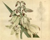 Depicted are a flowering spike with creamy-white, purple-edged flowers.  Curtis's Botanical Magazine t.1700, 1815.