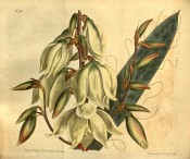 Depicted are a flowering spike with drooping creamy-white flowers and a single leaf.  Curtis's Botanical Magazine t.1700, 1815.