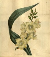 Depicted are the creamy, pink-flushed flowers and a single leaf.  Curtis's botanical Magazine t.2662, 1826.