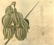 Depicted are the greenish-white pendulous flowers and an outline of the entire plant.  Curtis's Botanical Magazine t.2236, 1821.