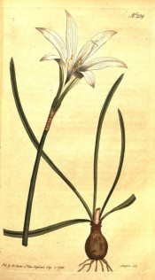 Shown are bulb, narrowly strap-shaped leaves and white, funnel-shaped flower.  Curtis's Botanical Magazine t.239, 1793.