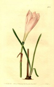 Illustrated are bulb, strap-like leaves and long pale  pink flower.  Botanical Register f.902, 1825.