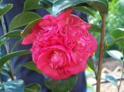 The photograph shows a very double camellia with a bright crimson flower.