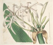 Illustrated is a large crinum with a large umbel of narrow-petalled white flowers.  Curtis's Botanical Magazine t.1073, 1807.