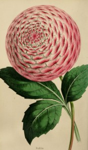 Figured is a very striking formal double dahlia, pale pink with deep pink edges to the petals.
