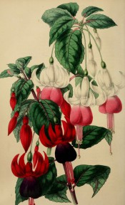 2 fuchsias are illustrated, both singles, one with a white and red flower the other purple and red.