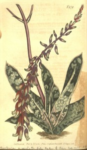 Figured are 2-ranked fleshy leaves with terminal spike of red and green tubular flowers.  PHS p.67, 1799-183.
