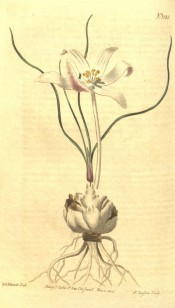 Figured is a bulb with a white, pink-tinged flower. BM t.1088/1808