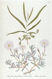 Figured is a spreading succulent with pale pink, star-like flowers.