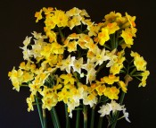 The photograph shows a wide range of tazettiform narcissi in shades of white, yellow and orange. Photo Colin Mills.
