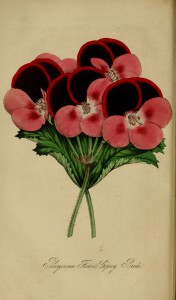 Figured is a geranium with perfectly circular flowers, the petals dark at the top, pink at the bottom and white in the centre.